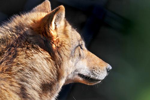 狼の画像 p1_5