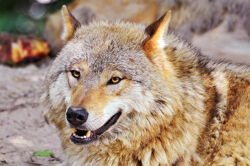 狼の画像 p1_27